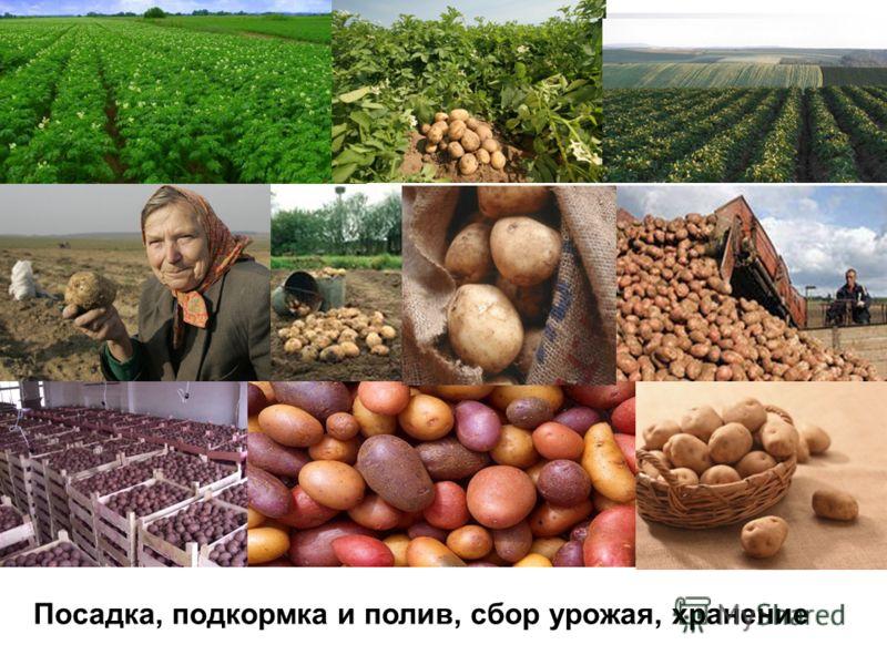 Посадка, подкормка и полив, сбор урожая, хранение