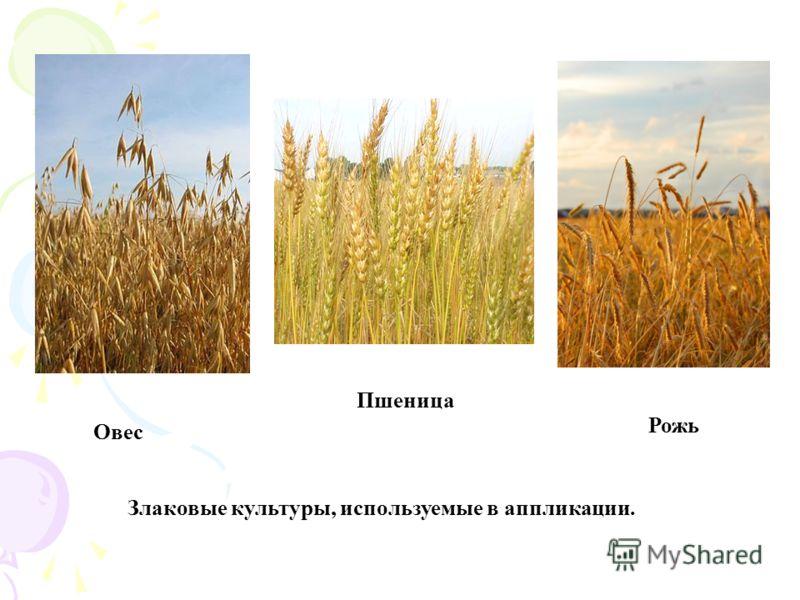 Овес Пшеница Рожь Злаковые культуры, используемые в аппликации.