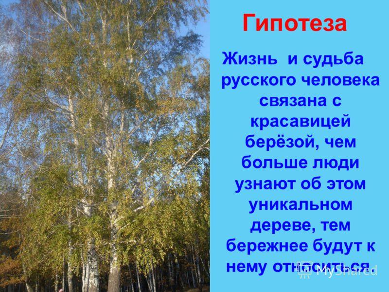 Гипотеза Жизнь и судьба русского человека связана с красавицей берёзой, чем больше люди узнают об этом уникальном дереве, тем бережнее будут к нему относиться.