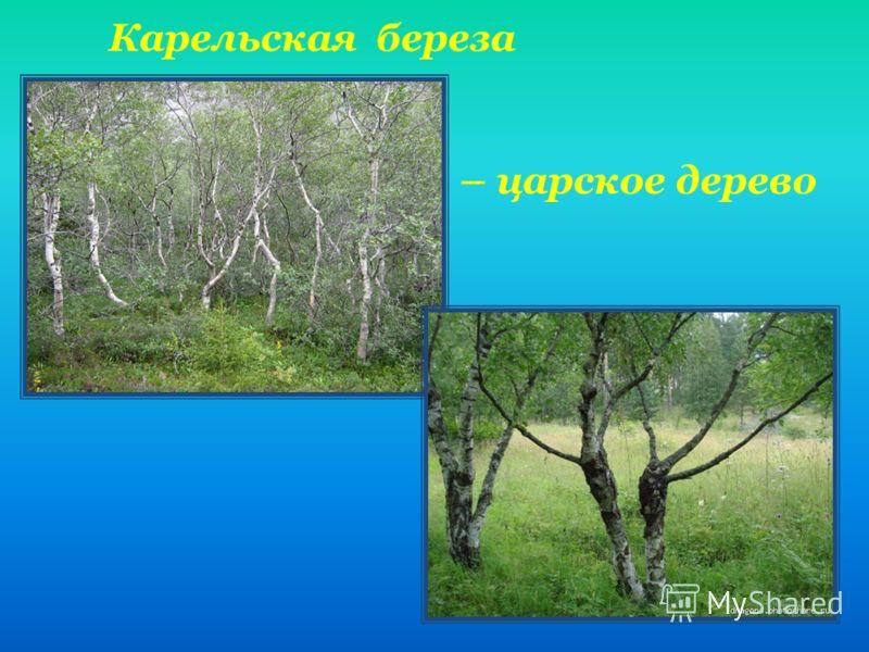 Карельская береза – царское дерево