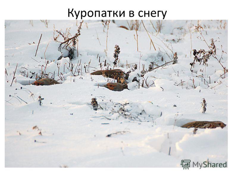 Куропатки в снегу