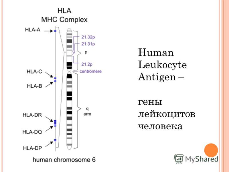 Human Leukocyte Antigen – гены лейкоцитов человека