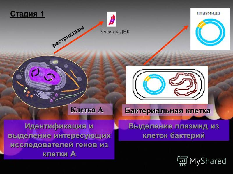 Участок ДНК Клетка А Идентификация и выделение интересующих исследователей генов из клетки А Стадия 1 Выделение плазмид из клеток бактерий Бактериальная клетка рестриктазы
