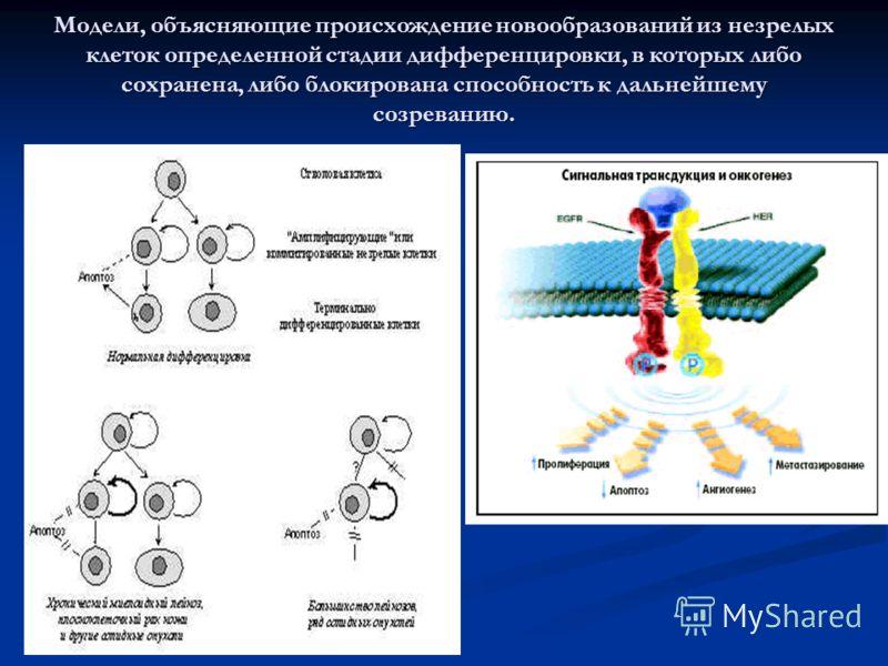 Модели, объясняющие происхождение новообразований из незрелых клеток определенной стадии дифференцировки, в которых либо сохранена, либо блокирована способность к дальнейшему созреванию.