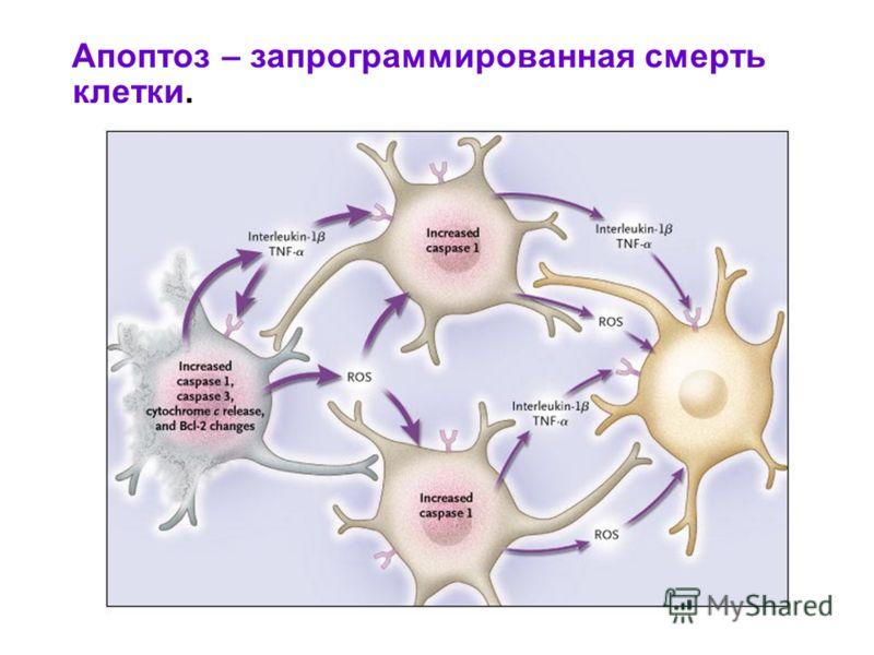 Апоптоз – запрограммированная смерть клетки.