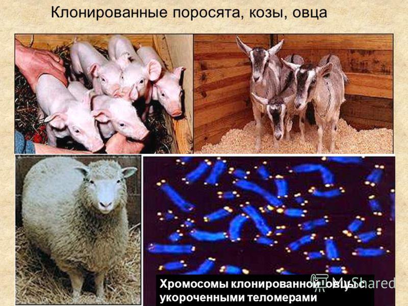 Клонированные поросята, козы, овца Хромосомы клонированной овцы с укороченными теломерами