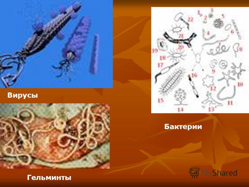 Вирусы Бактерии Гельминты