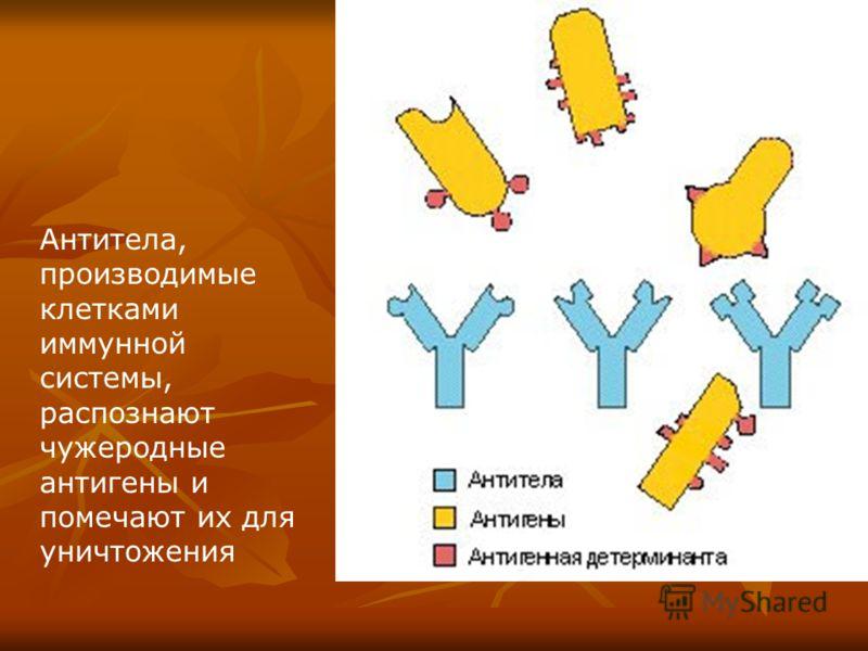 Антитела, производимые клетками иммунной системы, распознают чужеродные антигены и помечают их для уничтожения
