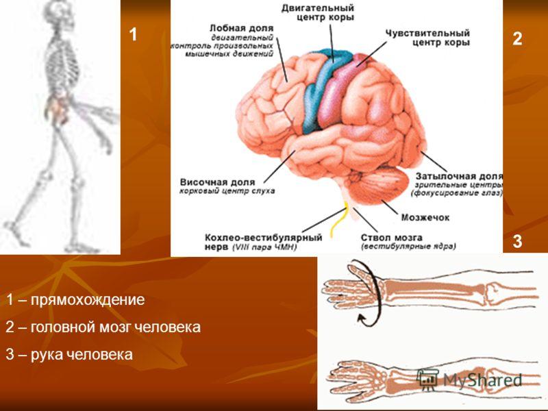 1 2 1 2 3 1 – прямохождение 2 – головной мозг человека 3 – рука человека