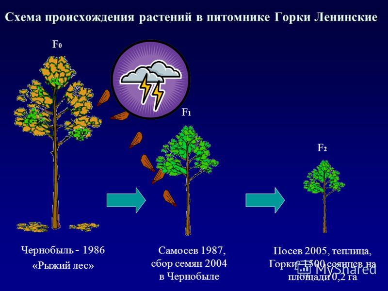 Схема происхождения растений в питомнике Горки Ленинские Чернобыль - 1986 «Рыжий лес» Самосев 1987, сбор семян 2004 в Чернобыле Посев 2005, теплица, Горки -1500 сеянцев на площади 0,2 га F0F0 F2F2 F1F1