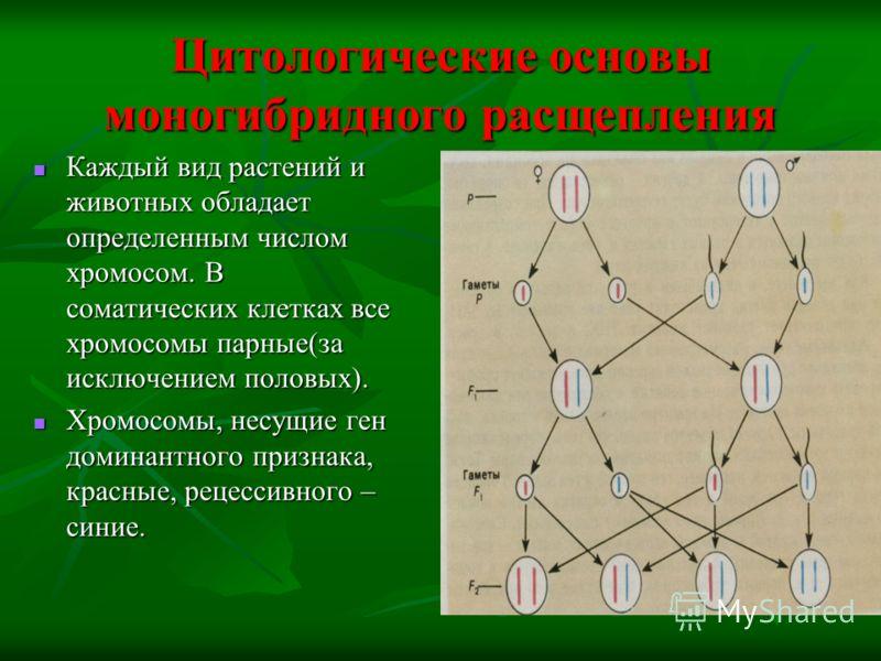 Цитологические основы моногибридного расщепления Каждый вид растений и животных обладает определенным числом хромосом. В соматических клетках все хромосомы парные(за исключением половых). Хромосомы, несущие ген доминантного признака, красные, рецесси