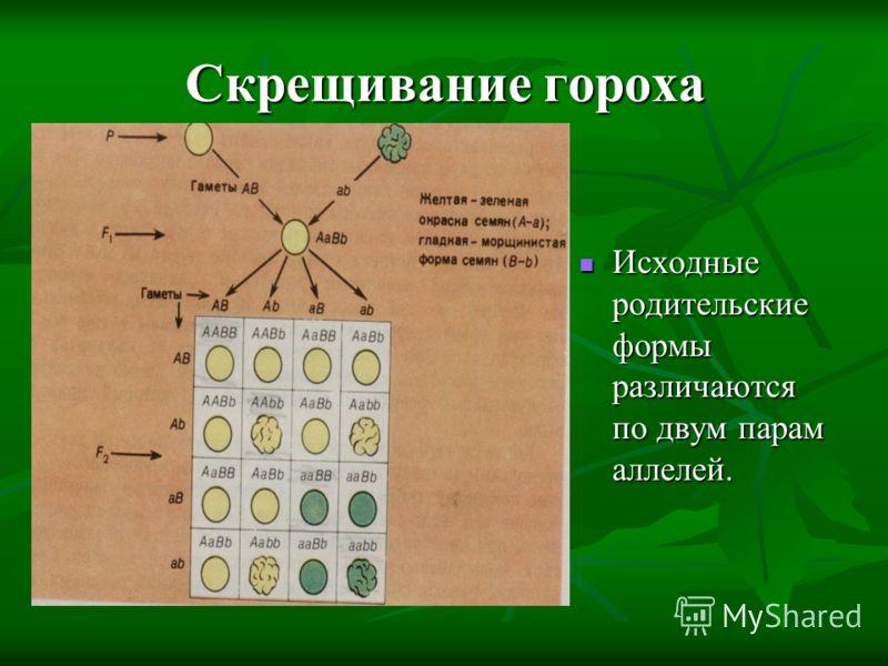 Скрещивание гороха Исходные родительские формы различаются по двум парам аллелей. Исходные родительские формы различаются по двум парам аллелей.