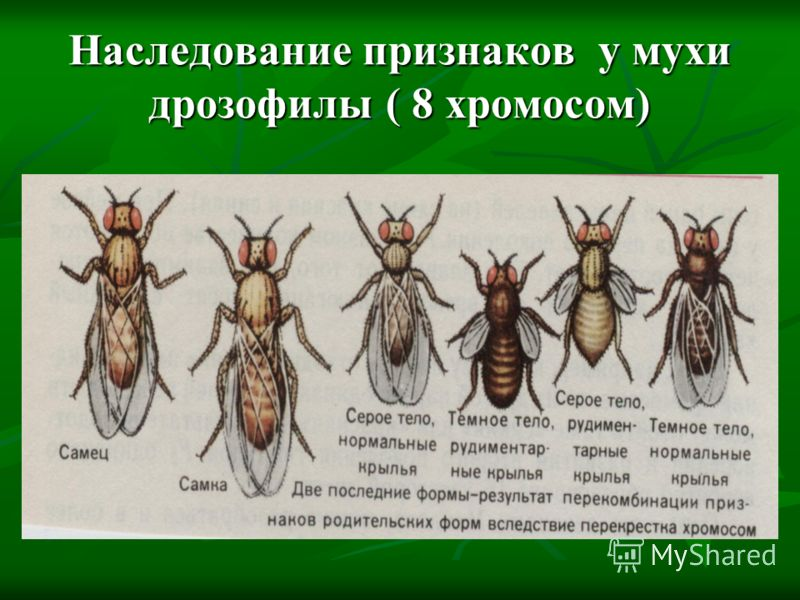 Наследование признаков у мухи дрозофилы ( 8 хромосом)