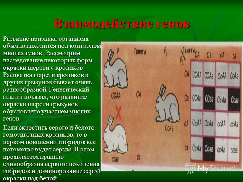 Взаимодействие генов Развитие признака организма обычно находится под контролем многих генов. Рассмотрим наследование некоторых форм окраски шерсти у кроликов. Расцветка шерсти кроликов и других грызунов бывает очень разнообразной. Генетический анали