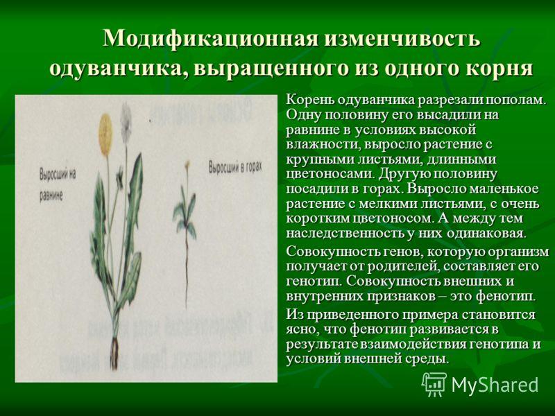 Модификационная изменчивость одуванчика, выращенного из одного корня Корень одуванчика разрезали пополам. Одну половину его высадили на равнине в условиях высокой влажности, выросло растение с крупными листьями, длинными цветоносами. Другую половину
