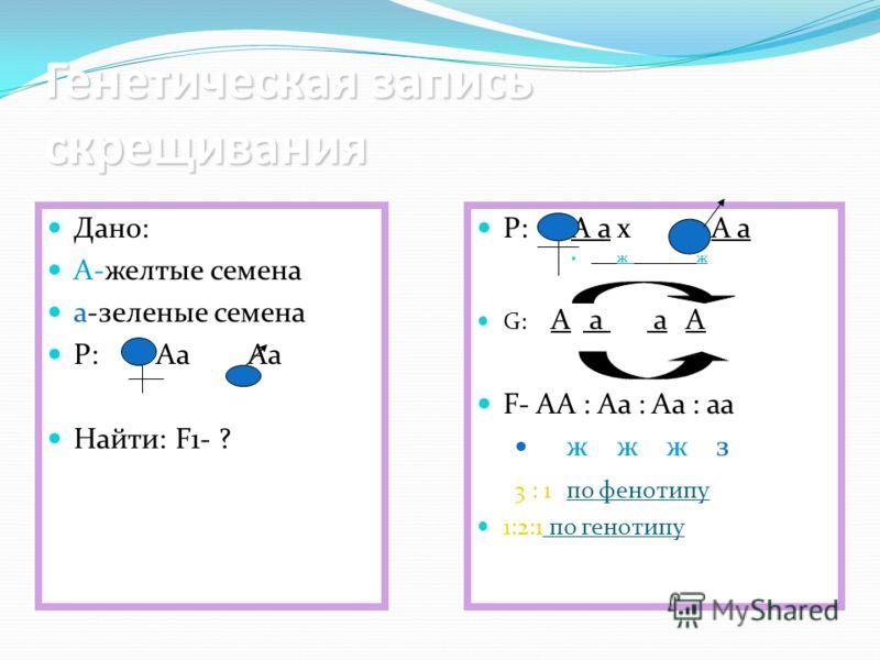 Генетическая запись скрещивания Дано: А-желтые семена а-зеленые семена Р: Аа Аа Найти: F1- ? Р: А а x А а ж ж G: А а а А F- АА : Аа : Аа : аа ж ж ж з 3 : 1 по фенотипу 1:2:1 по генотипу