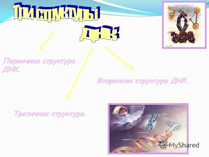 Первичная структура ДНК. Вторичная структура ДНК. Третичная структура.