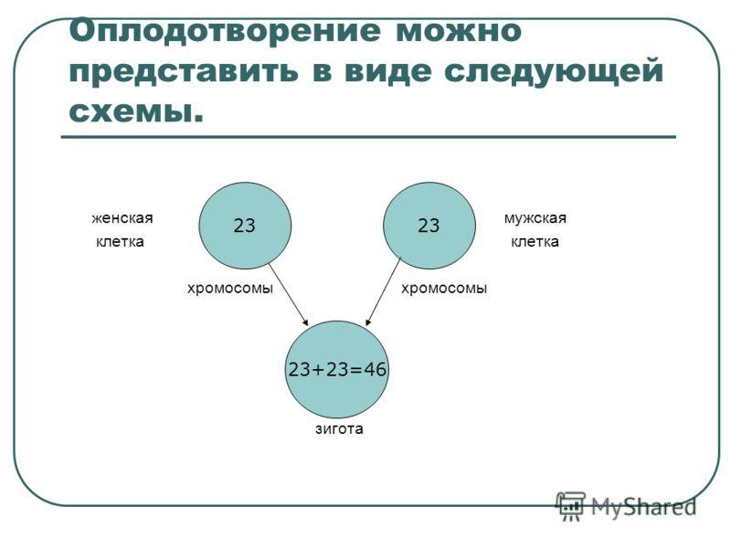 Оплодотворение можно представить в виде следующей схемы. ж енская мужская клетка клетка хромосомы хромосомы зигота 23 23+23=46