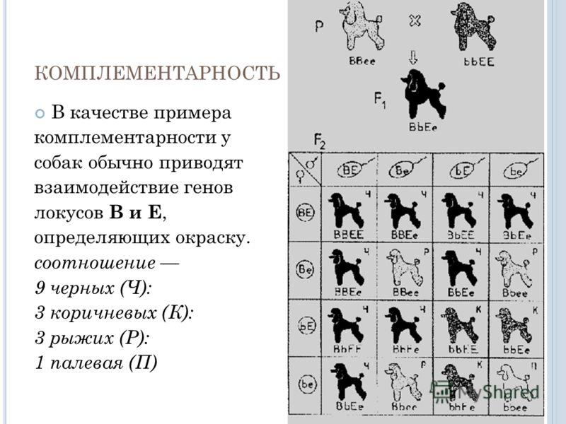 КОМПЛЕМЕНТАРНОСТЬ В качестве примера комплементарности у собак обычно приводят взаимодействие генов локусов В и Е, определяющих окраску. соотношение 9 черных (Ч): 3 коричневых (К): 3 рыжих (Р): 1 палевая (П)