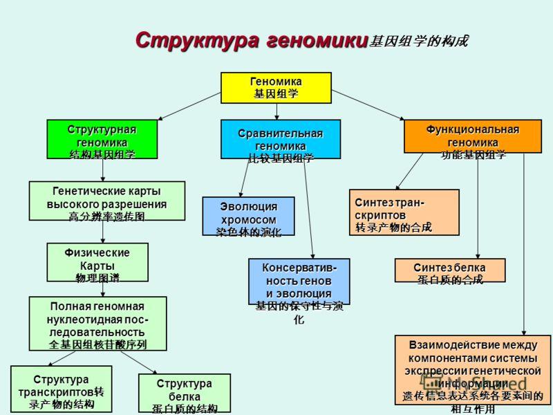 Структура транскриптов транскриптов Геномика Структурная геномика Сравнительная геномика Функциональная геномика Генетические карты высокого разрешения Физические Карты Полная геномная нуклеотидная пос- ледовательность Структура белка Эволюция хромос