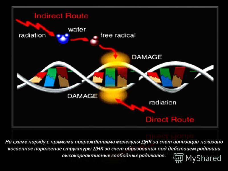 На схеме наряду с прямыми повреждениями молекулы ДНК за счет ионизации показано косвенное поражение структуры ДНК за счет образования под действием радиации высокореактивных свободных радикалов.