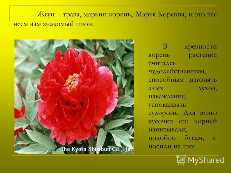 Жгун – трава, марьин корень, Марья Коревна, и это все всем вам знакомый пион. В древности корень растения считался чудодейственным, способным изгонять злых духов, наваждения, успокаивать судороги. Для этого кусочки его корней нанизывали, подобно буса