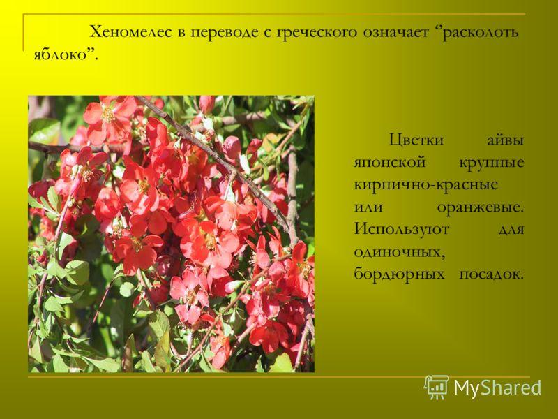 Хеномелес в переводе с греческого означает расколоть яблоко. Цветки айвы японской крупные кирпично-красные или оранжевые. Используют для одиночных, бордюрных посадок.