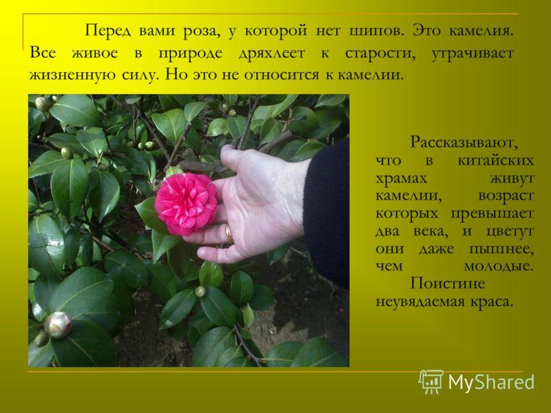 Перед вами роза, у которой нет шипов. Это камелия. Все живое в природе дряхлеет к старости, утрачивает жизненную силу. Но это не относится к камелии. Рассказывают, что в китайских храмах живут камелии, возраст которых превышает два века, и цветут они