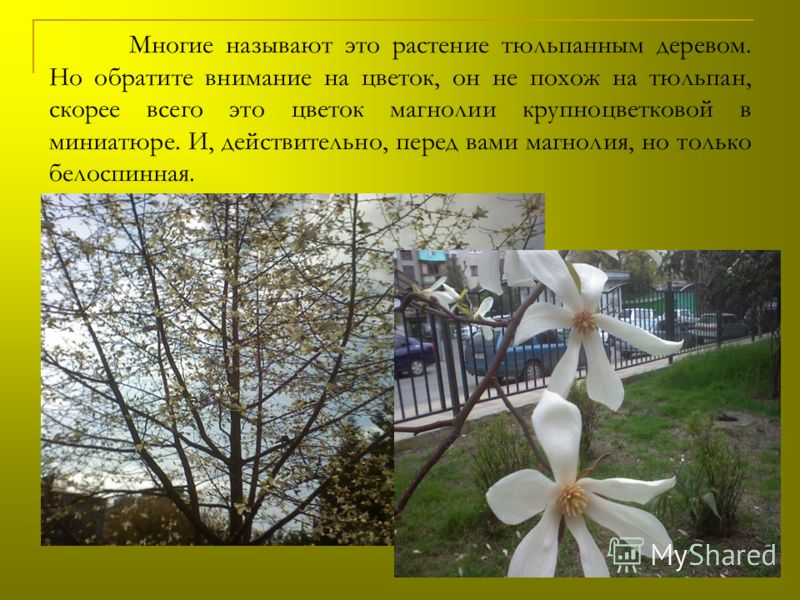 Многие называют это растение тюльпанным деревом. Но обратите внимание на цветок, он не похож на тюльпан, скорее всего это цветок магнолии крупноцветковой в миниатюре. И, действительно, перед вами магнолия, но только белоспинная.