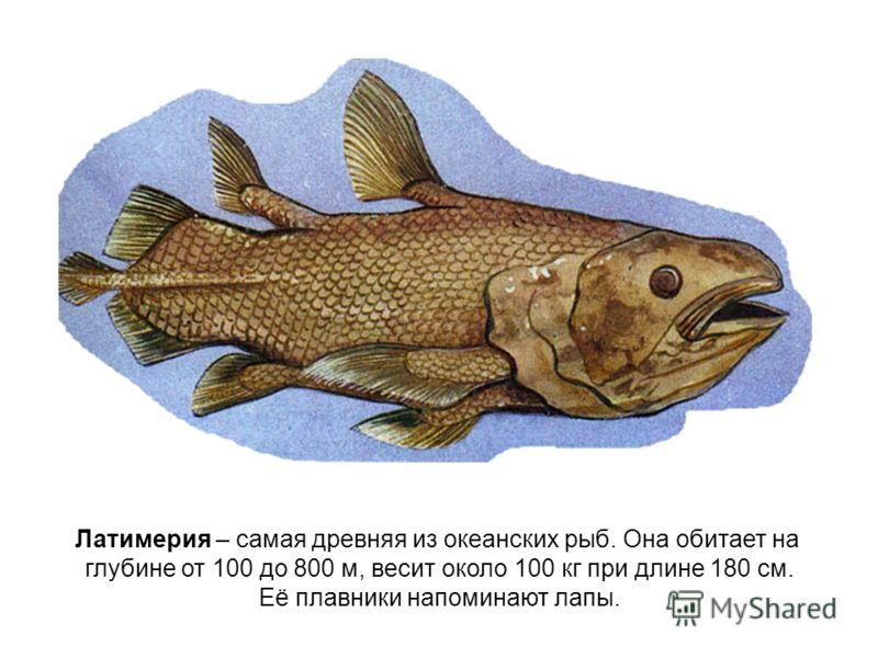 Латимерия – самая древняя из океанских рыб. Она обитает на глубине от 100 до 800 м, весит около 100 кг при длине 180 см. Её плавники напоминают лапы.