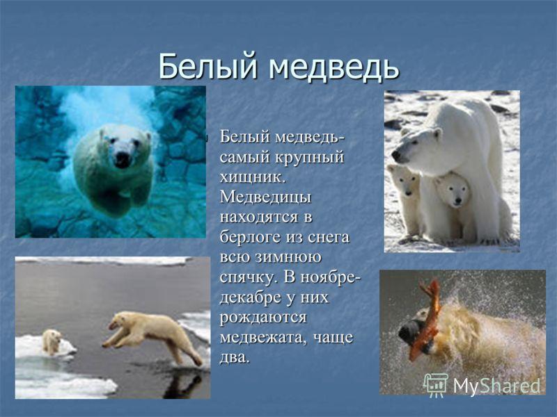 Белый медведь Белый медведь- самый крупный хищник. Медведицы находятся в берлоге из снега всю зимнюю спячку. В ноябре- декабре у них рождаются медвежата, чаще два. Белый медведь- самый крупный хищник. Медведицы находятся в берлоге из снега всю зимнюю