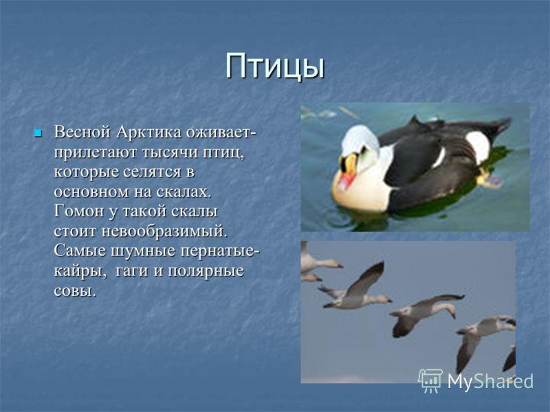 Птицы Весной Арктика оживает- прилетают тысячи птиц, которые селятся в основном на скалах. Гомон у такой скалы стоит невообразимый. Самые шумные пернатые- кайры, гаги и полярные совы.