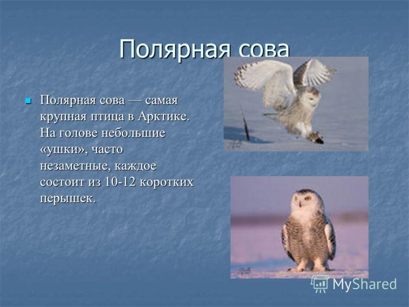 Полярная сова Полярная сова самая крупная птица в Арктике. На голове небольшие «ушки», часто незаметные, каждое состоит из 10-12 коротких перышек. Полярная сова самая крупная птица в Арктике. На голове небольшие «ушки», часто незаметные, каждое состо
