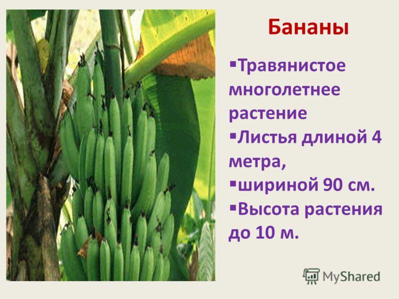 Бананы Травянистое многолетнее растение Листья длиной 4 метра, шириной 90 см. Высота растения до 10 м.