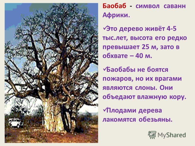 Баобаб - символ саванн Африки. Это дерево живёт 4-5 тыс.лет, высота его редко превышает 25 м, зато в обхвате – 40 м. Баобабы не боятся пожаров, но их врагами являются слоны. Они объедают влажную кору. Плодами дерева лакомятся обезьяны.