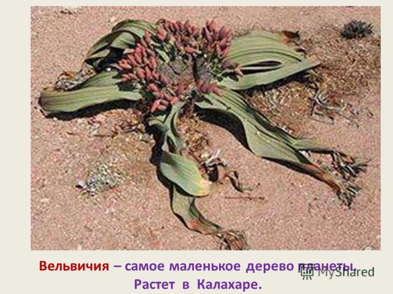 Вельвичия – самое маленькое дерево планеты. Растет в Калахаре.