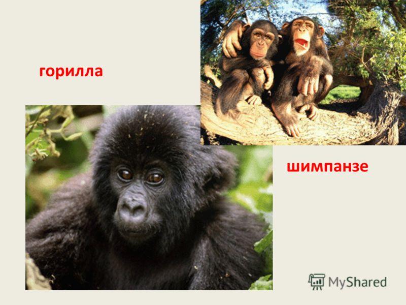 горилла шимпанзе