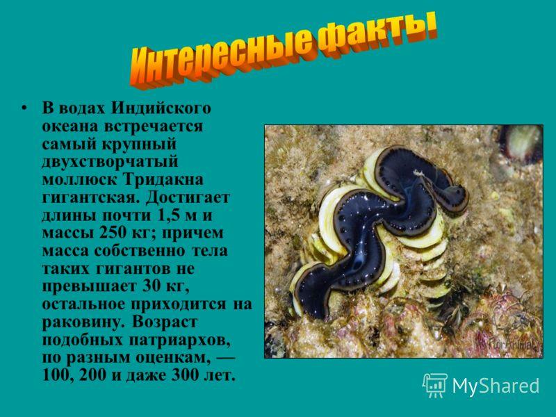В водах Индийского океана встречается самый крупный двухстворчатый моллюск Тридакна гигантская. Достигает длины почти 1,5 м и массы 250 кг; причем масса собственно тела таких гигантов не превышает 30 кг, остальное приходится на раковину. Возраст подо