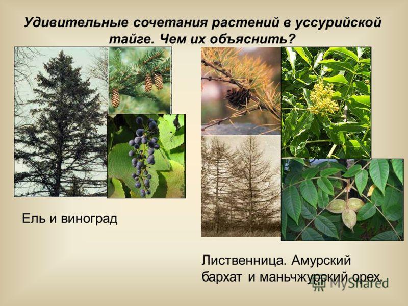 Удивительные сочетания растений в уссурийской тайге. Чем их объяснить? Ель и виноград Лиственница. Амурский бархат и маньчжурский орех.