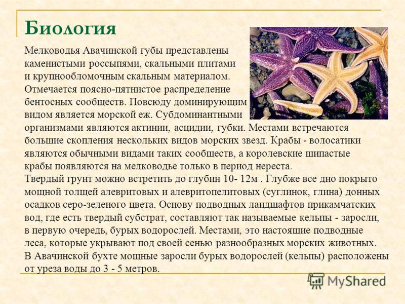 Биология Мелководья Авачинской губы представлены каменистыми россыпями, скальными плитами и крупнообломочным скальным материалом. Отмечается поясно-пятнистое распределение бентосных сообществ. Повсюду доминирующим видом является морской еж. Субдомина