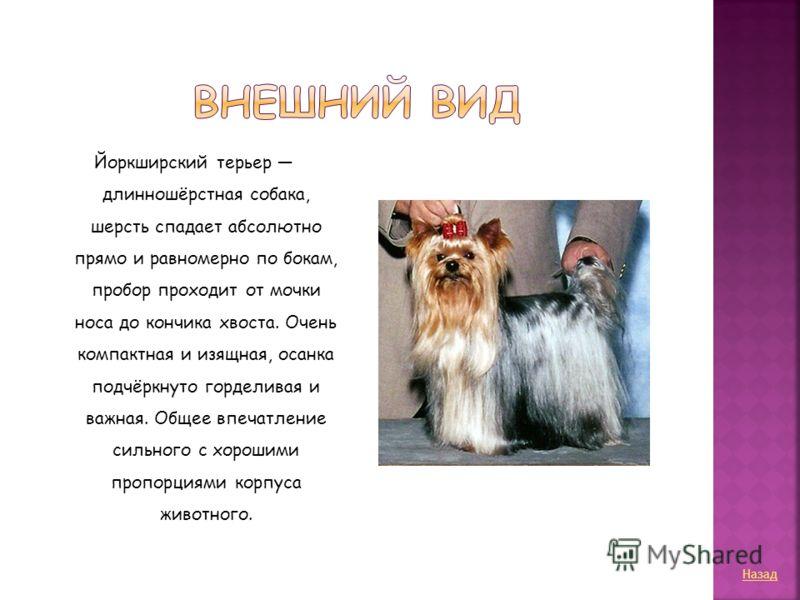 Йоркширский терьер длинношёрстная собака, шерсть спадает абсолютно прямо и равномерно по бокам, пробор проходит от мочки носа до кончика хвоста. Очень компактная и изящная, осанка подчёркнуто горделивая и важная. Общее впечатление сильного с хорошими