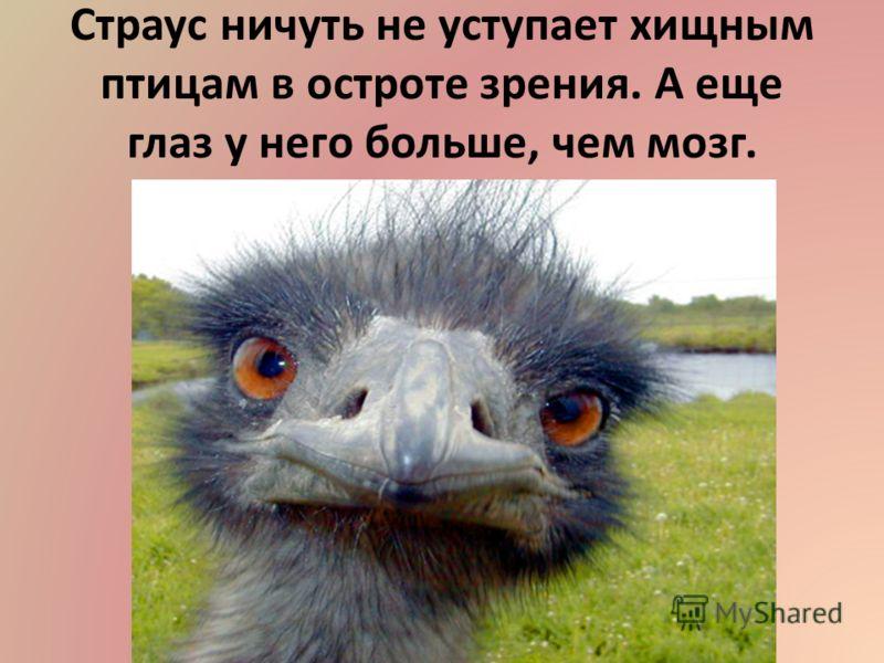 Страус ничуть не уступает хищным птицам в остроте зрения. А еще глаз у него больше, чем мозг.