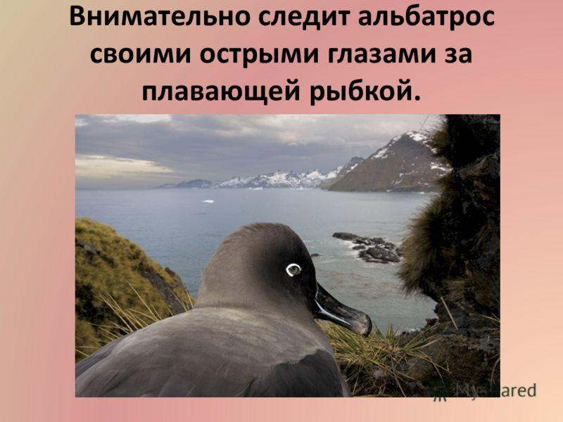 Внимательно следит альбатрос своими острыми глазами за плавающей рыбкой.