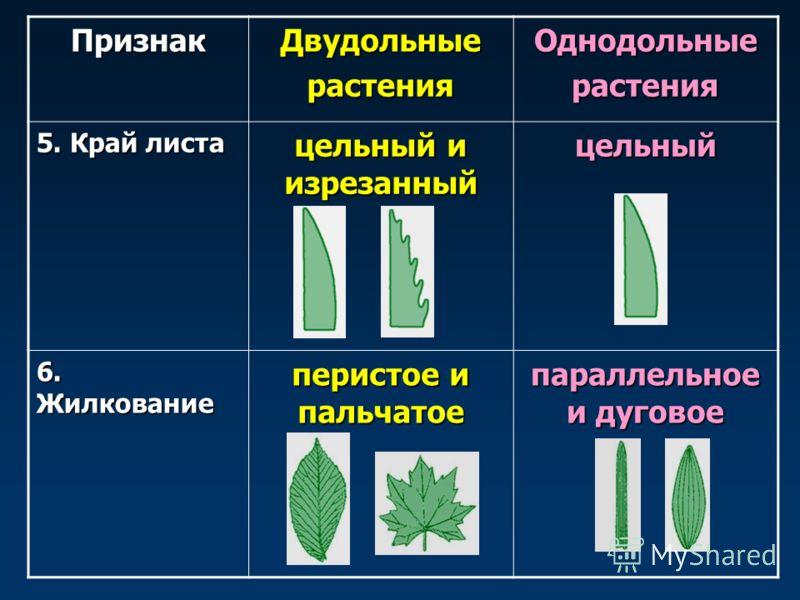 ПризнакДвудольныерастенияОднодольныерастения 5. Край листа цельный и изрезанный цельный 6. Жилкование перистое и пальчатое параллельное и дуговое
