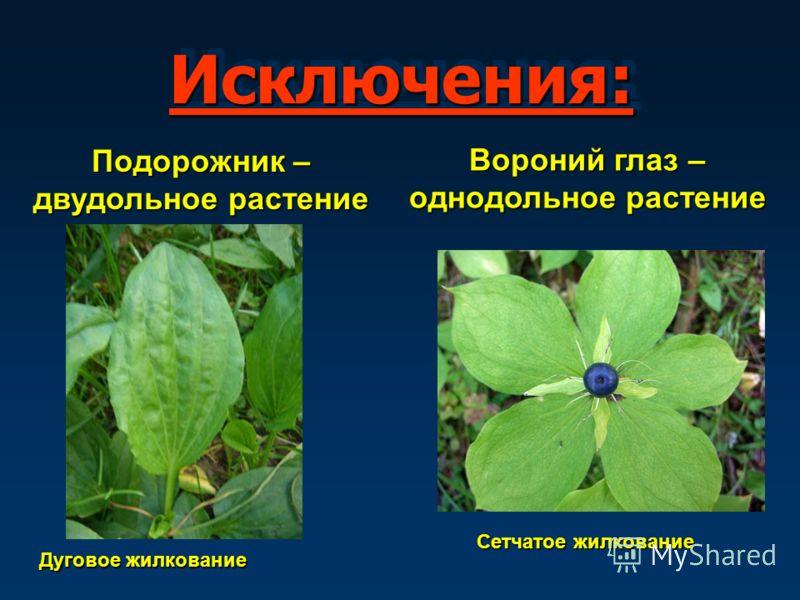 Исключения:Исключения: Подорожник – двудольное растение Дуговое жилкование Вороний глаз – однодольное растение Сетчатое жилкование