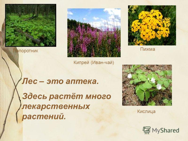 Лес – это аптека. Здесь растёт много лекарственных растений. Кипрей (Иван-чай) Кислица Пижма Папоротник