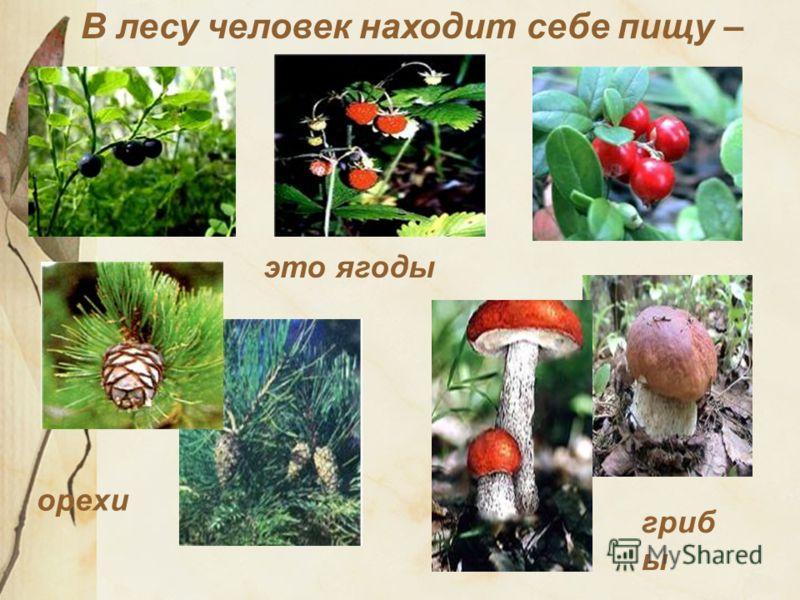 В лесу человек находит себе пищу – это ягоды орехи гриб ы