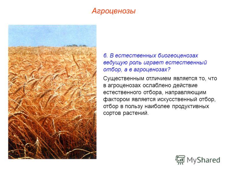Агроценозы 6. В естественных биогеоценозах ведущую роль играет естественный отбор, а в агроценозах? Существенным отличием является то, что в агроценозах ослаблено действие естественного отбора, направляющим фактором является искусственный отбор, отбо