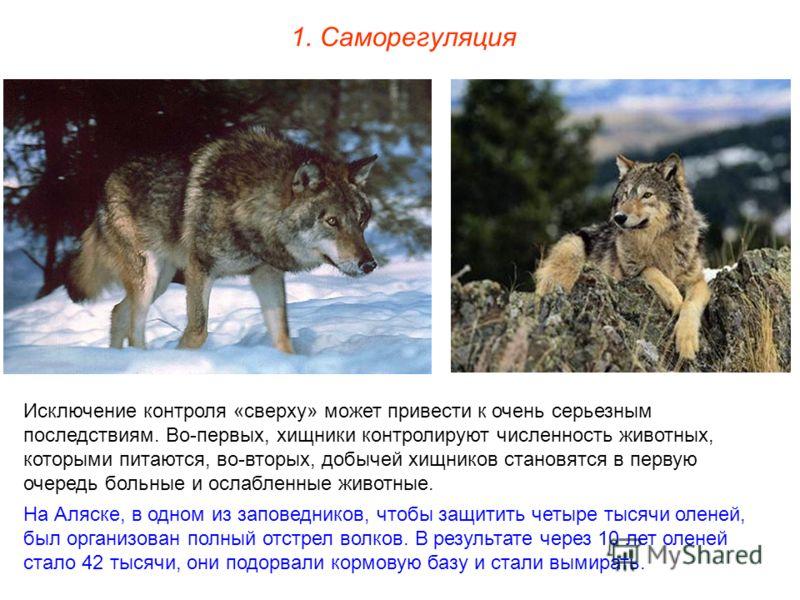 1. Саморегуляция Исключение контроля «сверху» может привести к очень серьезным последствиям. Во-первых, хищники контролируют численность животных, которыми питаются, во-вторых, добычей хищников становятся в первую очередь больные и ослабленные животн