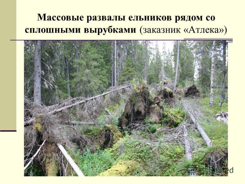 Массовые развалы ельников рядом со сплошными вырубками (заказник «Атлека»)
